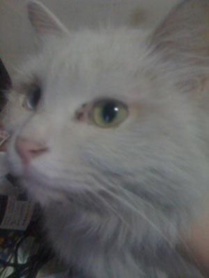白猫的可爱眼睛