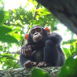 青年比利猿